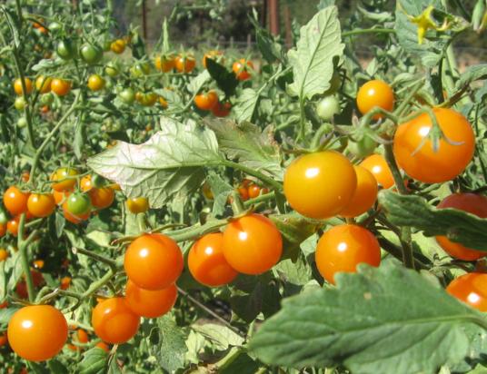 tomato farming in nigeria