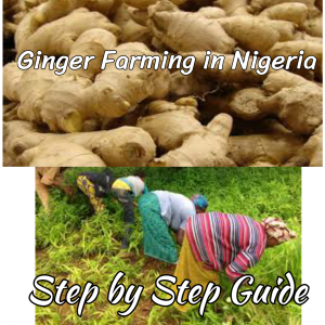 Ginger Farming in Nigeria: Step by Step Guide