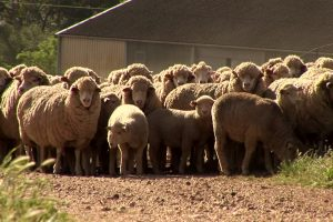 Sheep Rearing