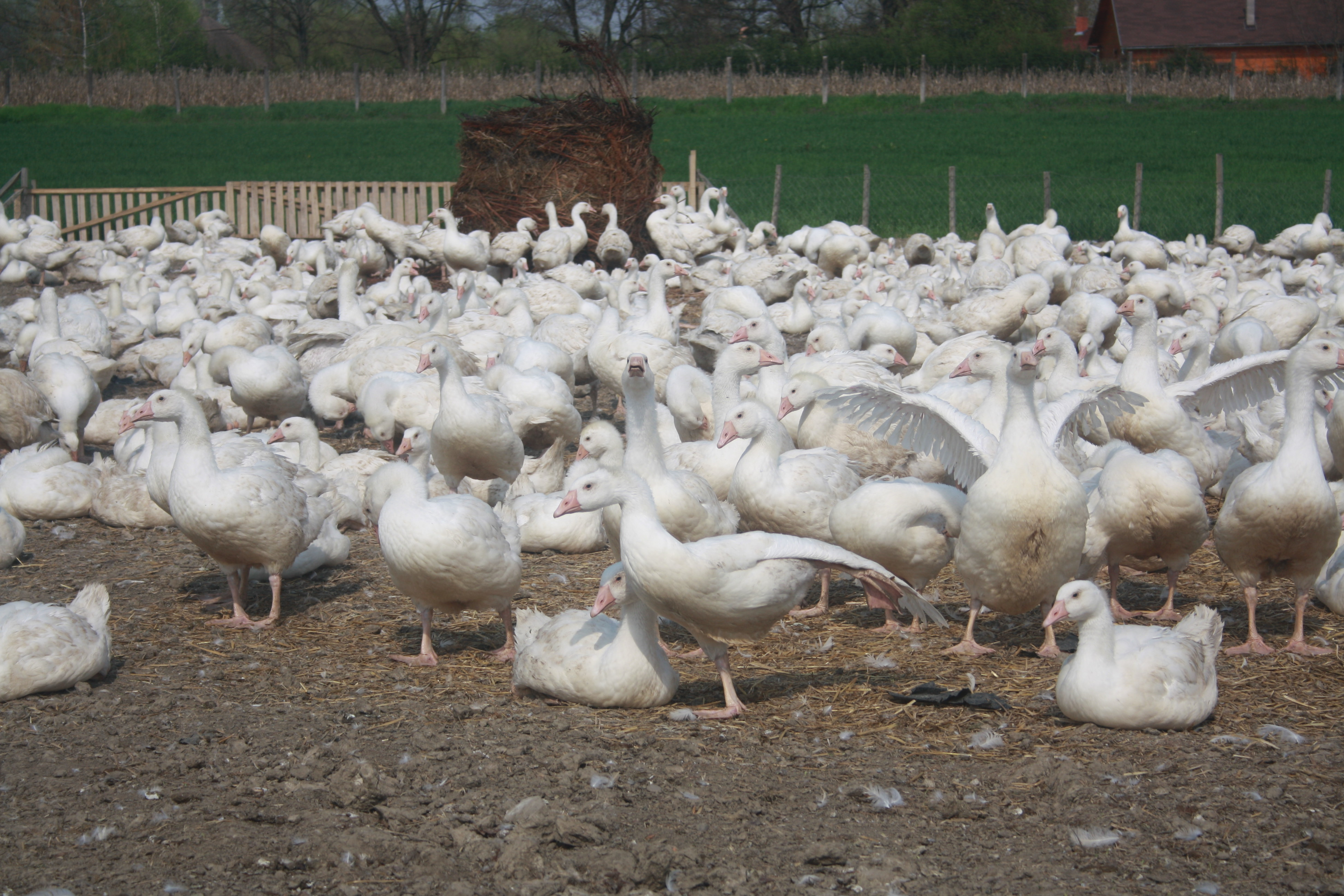 Geese Farming in Nigeria: Step by Step Guide