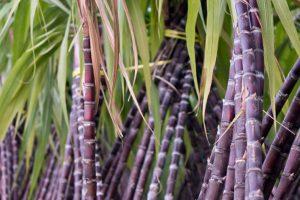 Sugarcane Farming in Nigeria: Step by Step Guide