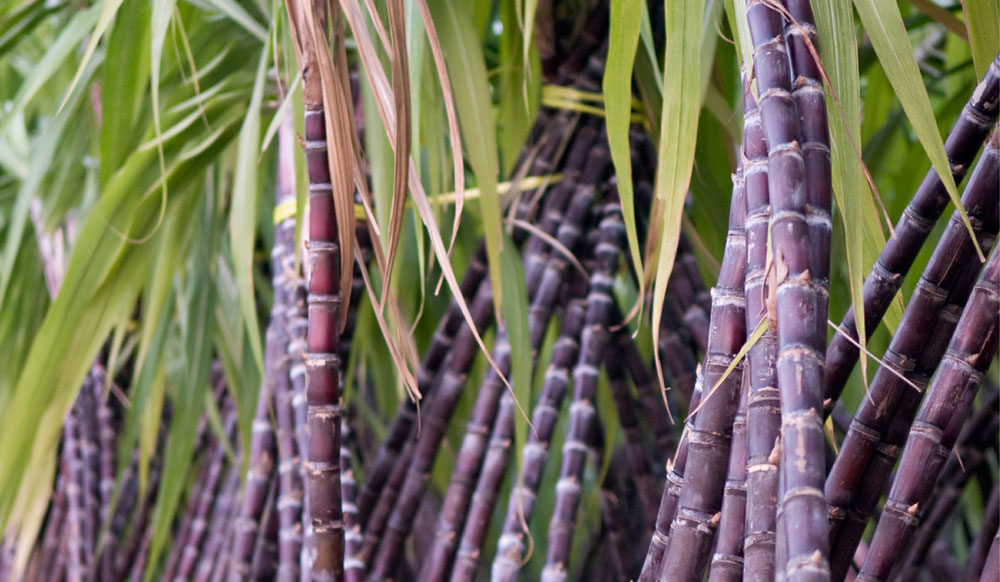 Sugarcane Farming in Nigeria: Step by Step Guide