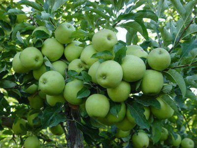 Apple Farming in Nigeria: Step by Step Guide
