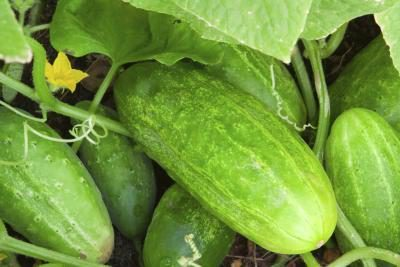 Cucumber farming in Nigeria: Step by Step Guide