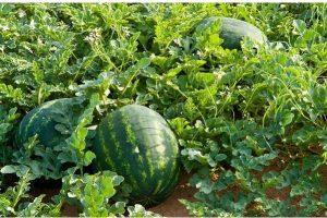Egusi Farming in Nigeria: Step by Step Guide