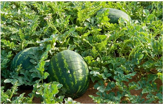 Egusi Farming in Nigeria: Step by Step Guide