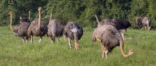 Ostrich Farming in Nigeria: Step by Step Guide