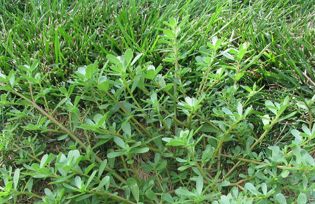 Common Nigerian Weeds Their Botanical Names
