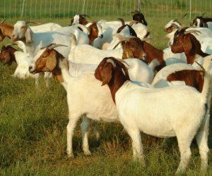 Goat Business in Nigeria