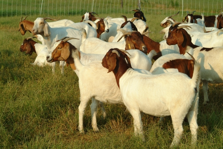Goat Business in Nigeria