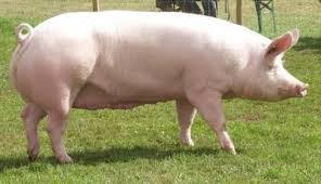 Disadvantages of Pig Farming in Nigeria