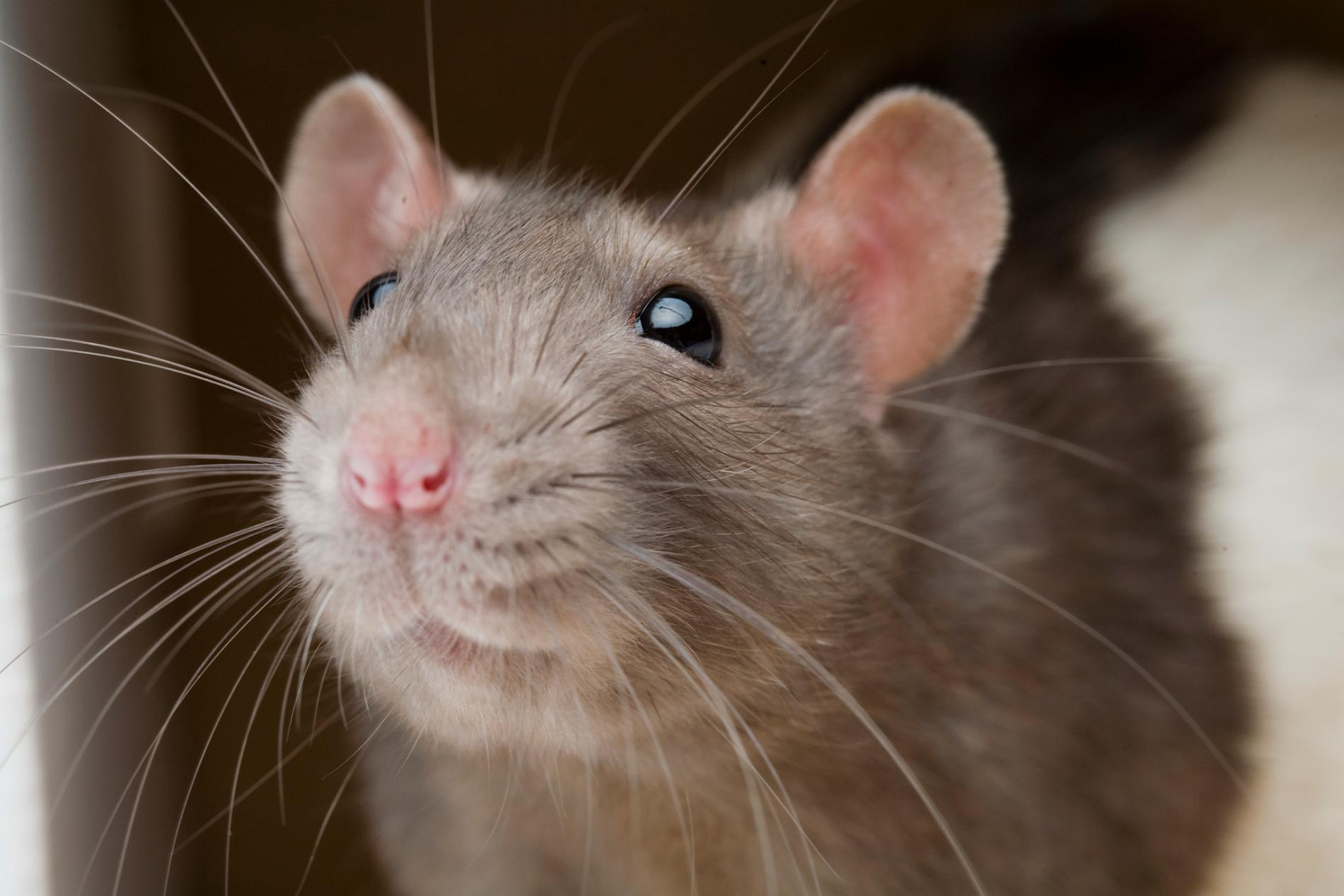 How to Get Rid of Rats at Home in Nigeria