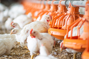 Problems of Poultry Production in Nigeria