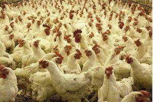 Best Breeds of Broilers in Nigeria