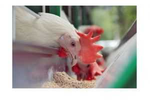 Best Broiler Feed Brands in Nigeria